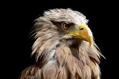 Portrait of a golden eagle. On black background Royalty Free Stock Images