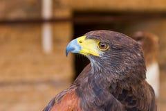 Portrait golden eagle Stock Photo