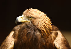 Portrait of a Golden Eagle Royalty Free Stock Photos