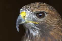 A portrait of a golden eagle royalty free stock photo