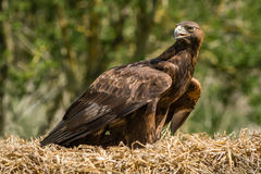 Portrait of a golden eagle Royalty Free Stock Photo
