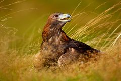 Portrait of Golden Eagle, sitting in the brown grass. Wildlife scene from nature. Summer day in the meadow. Eagle with open bill. Portrait of Golden Eagle Royalty Free Stock Images