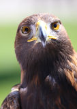 Portrait of an golden eagle. Staring at camera Royalty Free Stock Image