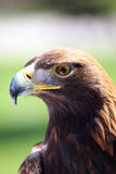 Portrait of an golden eagle. Staring at camera Royalty Free Stock Images
