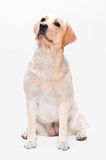 Portrait of the golden labrador Royalty Free Stock Photography