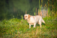 Portrait of the golden labrador Stock Photos