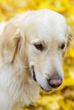 Portrait of golden labrador retriever in autumn park Royalty Free Stock Photography