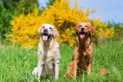 Portrait of a golden and a labrador retriever Royalty Free Stock Photos