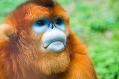 Portrait of golden monkey Royalty Free Stock Photo