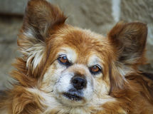 Papillon dog portrait Royalty Free Stock Images