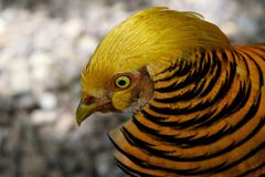 Portrait of Golden pheasant bird, One golden pheasant close up, wild golden pheasant in the nature close up, tropical colorful bir Stock Photography