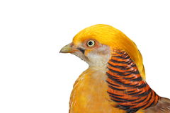 Portrait of a golden pheasant Royalty Free Stock Photo