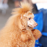Portrait of a golden poodle Royalty Free Stock Images