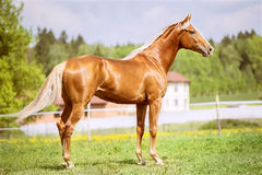Portrait of the golden red horse in summer time Stock Image