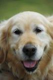 Portrait of golden retriever Stock Photography