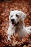 Portrait of golden retriever Royalty Free Stock Photography