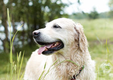 Portrait of Golden Retriever. Stock Photography