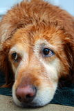 Portrait of golden retriever Royalty Free Stock Image