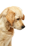 Portrait of the Golden Retriever. Dogs and cats in the most different situations and positions Royalty Free Stock Images