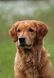 Portrait of golden retriever Stock Photo