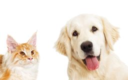 Free Portrait Golden Retriever And Ginger Cat Looking Royalty Free Stock Photography - 92882167