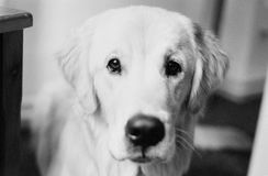 Portrait of a Golden Retriever. A beautiful Golden Retriever looks directly into the camera Royalty Free Stock Photo