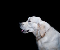 Portrait of golden retriever Stock Images