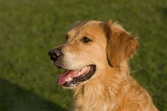 Portrait of a Golden Retriever dog Royalty Free Stock Images
