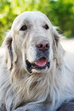 Portrait of golden retriever dog close up. At the park in summer Stock Photo