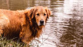 Portrait of a Golden Retriever dog free, on the outdoors nature. Scene on the water of a lake Royalty Free Stock Photos