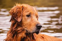 Portrait of a Golden Retriever dog free, on the outdoors nature. Scene on the water of a lake Royalty Free Stock Photography