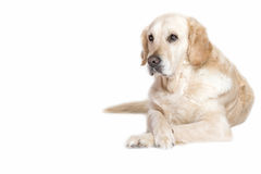 Portrait of Golden Retriever Dog Stock Image
