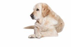 Portrait of Golden Retriever Dog Stock Photography