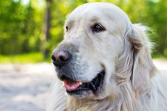 Portrait of golden retriever dog at the park in summer Royalty Free Stock Image