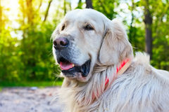 Portrait of golden retriever dog at the park in summer Stock Photography