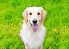 Portrait of Golden Retriever dog sitting on the green grass Royalty Free Stock Photography