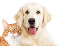 Portrait Golden retriever and ginger cat looking stock photos