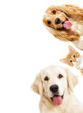 Portrait Golden retriever And a kitten Stock Images
