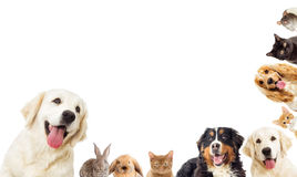 Portrait Golden retriever And a kitten Royalty Free Stock Photos