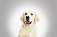 Portrait Golden Retriever looking Royalty Free Stock Image