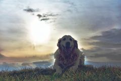 A portrait of a golden retriever lying in the grass. With cloudy sky for the background Stock Image