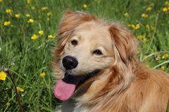 Portrait of a golden retriever mix. Portrait of a beautiful Golden retriever mix between yellow flowers in the meadow stock image