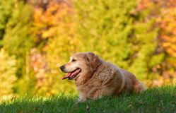 Portrait of Golden Retriever in nature in autumn. Portrait of 11 years old Golden Retriever in nature in autumn. He lies on the green grass with beautifut royalty free stock photos