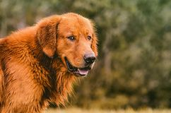 Portrait of a Golden Retriever on nature. Beautiful dog Royalty Free Stock Photo
