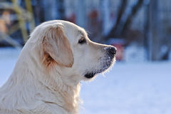Portrait of Golden Retriever. In profile Royalty Free Stock Photos