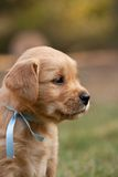 Portrait of golden retriever puppy Royalty Free Stock Photography