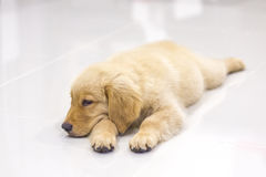 Portrait of golden retriever puppy Stock Image
