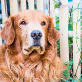 Portrait of a Golden retriever Royalty Free Stock Image