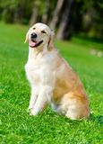 Portrait of golden retriever sitting on the grass Stock Photo