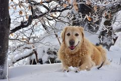 Portrait Golden Retriever Winter Snowy. Portrait of the ten-year-old dog, Golden Retriever, lying on snowy ground. He is very happy and seems he is smiling Stock Photos